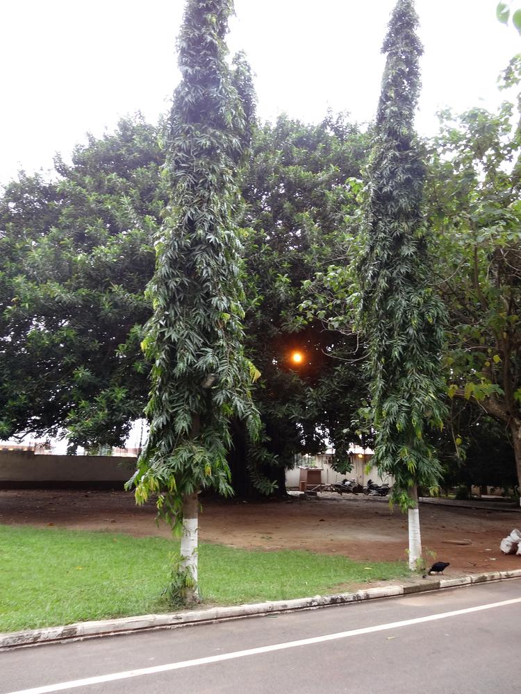 Umbrella Trees